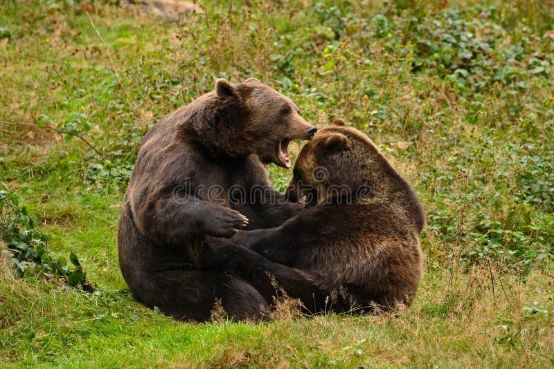 Två kampbrunbjörnar i skogståenden av brunbjörnen som sitter på den gråa stenen, rosa färger blommar på bakgrunden, djur in royaltyfri bild