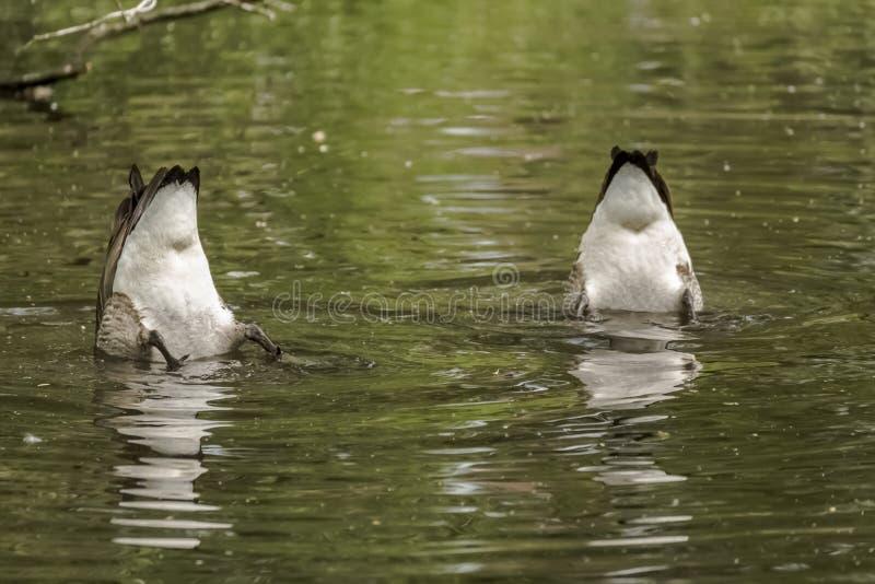 Två kanadensiska gäss som guppar för mat i en sjö arkivbild