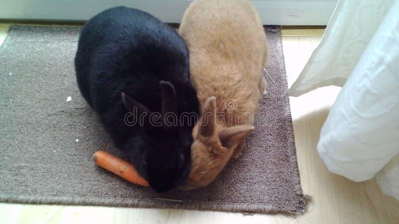 Två kaniner och en morot arkivfoton
