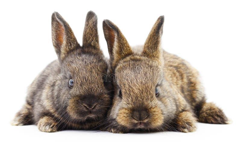 Två kaninkaniner royaltyfri foto