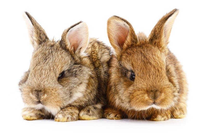 Två kaninkaniner arkivfoto
