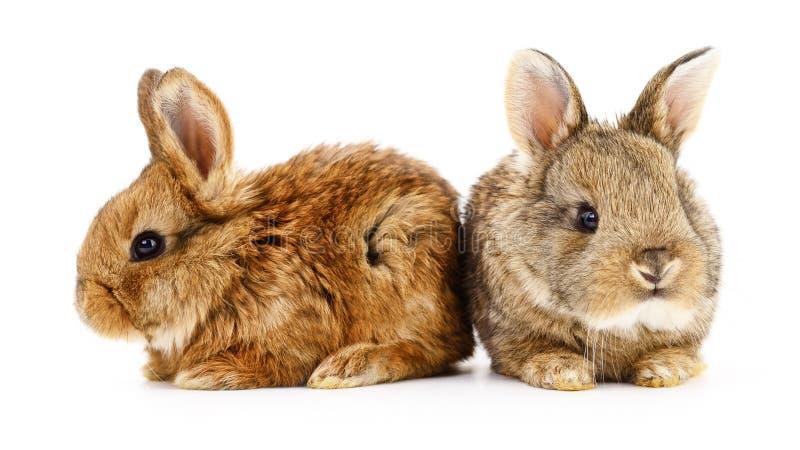Två kaninkaniner royaltyfria foton