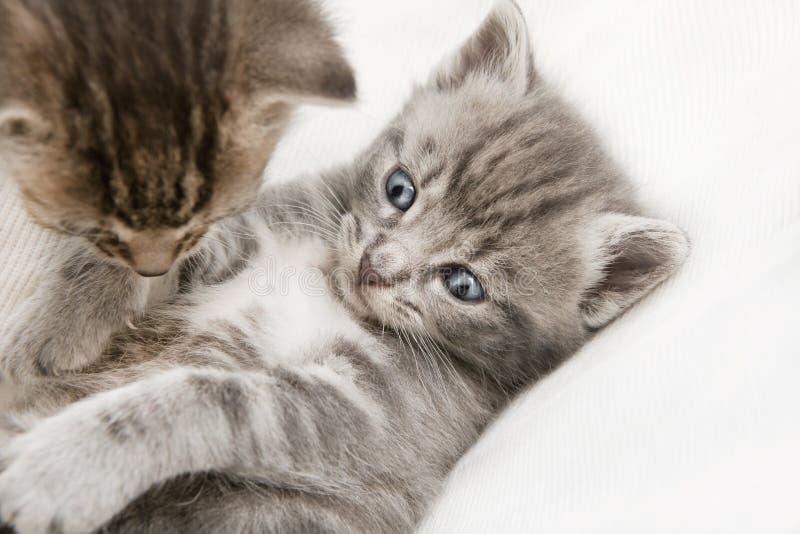 Två katter behandla som ett barn att spela arkivfoton