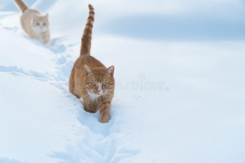 Två katter går på snödjur i vinter arkivbild
