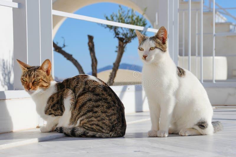 Två katter på ön av Santorini Fira Grekland fotografering för bildbyråer