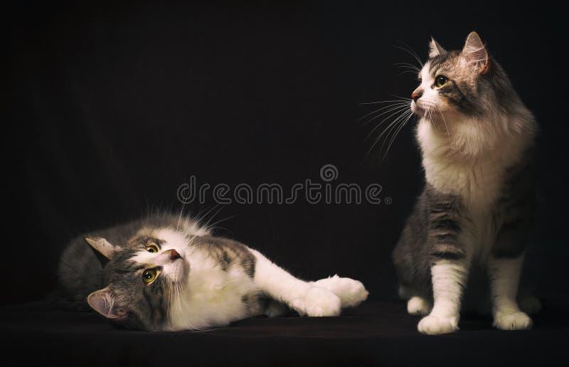 Två katter på mörk bakgrund, tappningfärger royaltyfri foto