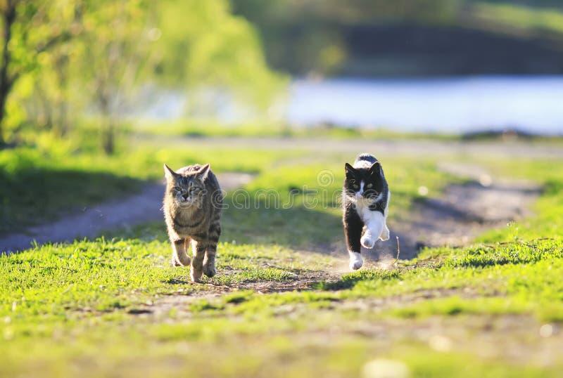 Två katter som har rolig spring till och med det soliga gröna ängloppet royaltyfri fotografi