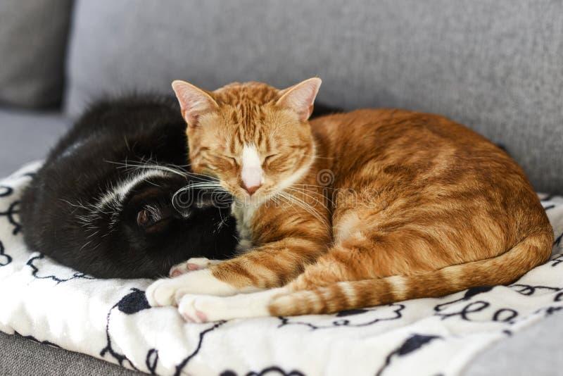 Två katter som hemma sover och kelar på soffan royaltyfri bild