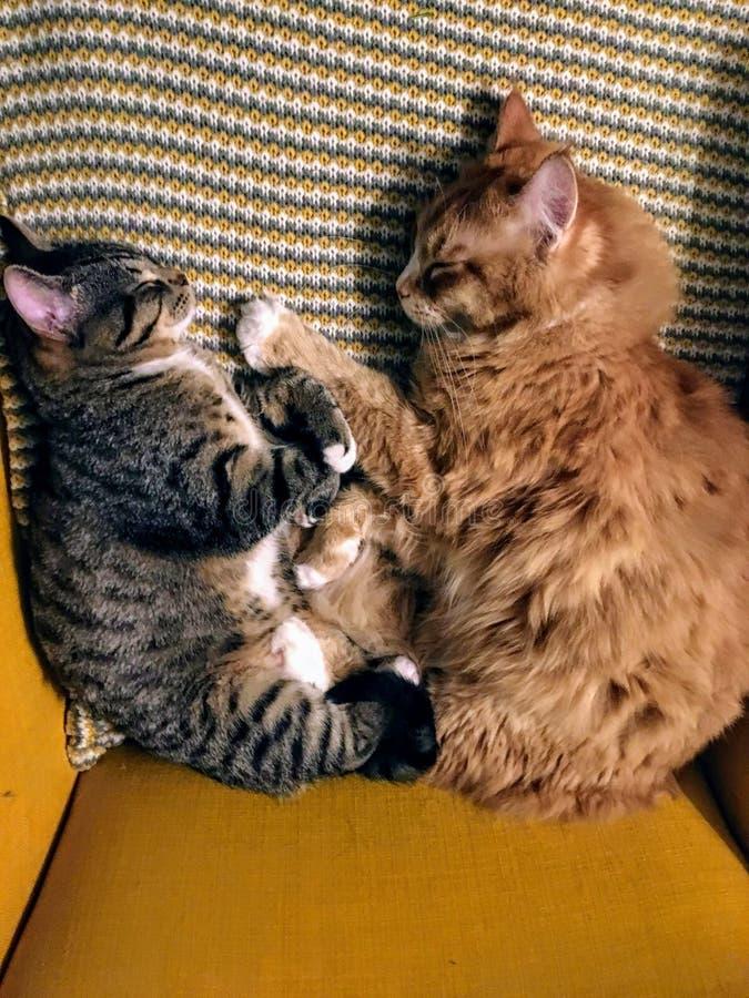 Två katter som tillsammans ta sig en tupplur i en gul stol royaltyfri foto