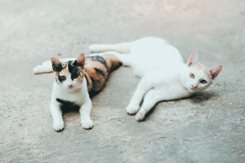 Två katter sover på cementkatter flår yttersida, thailändsk katthud royaltyfri fotografi