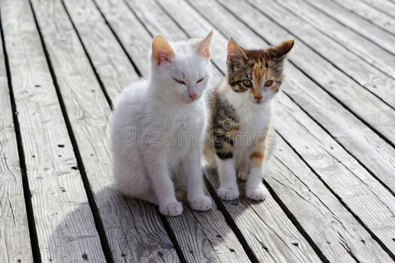 Två kattungar som sitter på golvet av träplankor royaltyfri foto
