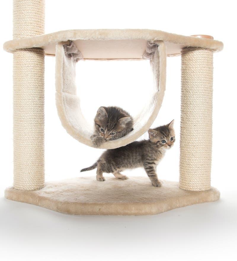 Två kattungar som spelar i kattträd arkivbilder