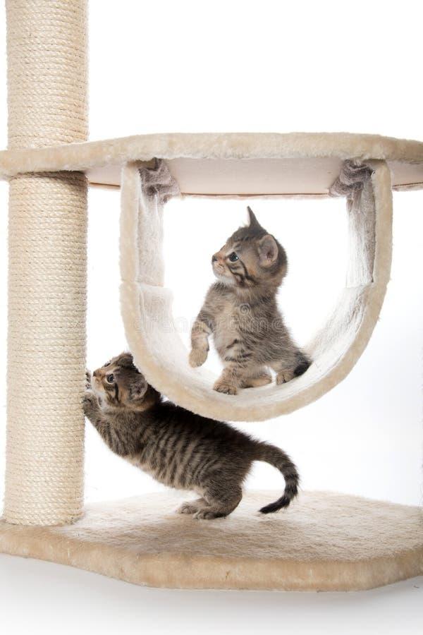 Två kattungar som spelar i kattträd royaltyfria foton