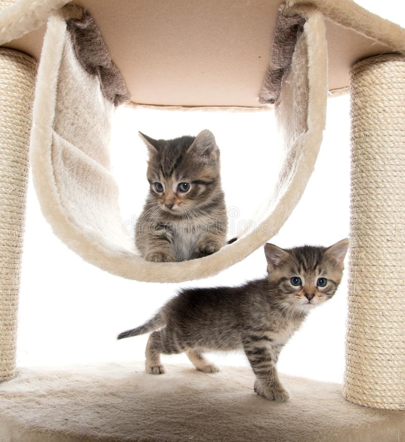 Två kattungar som spelar i kattträd arkivbild