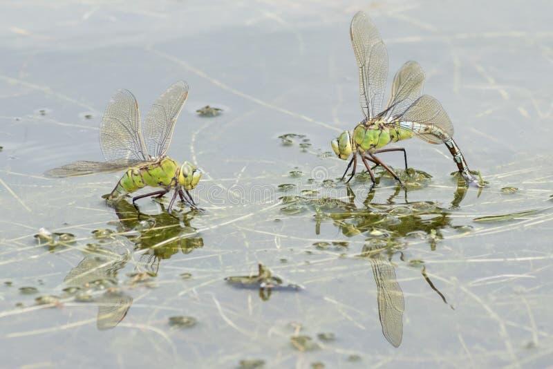 Två kejsaresländor på vattnet royaltyfria foton