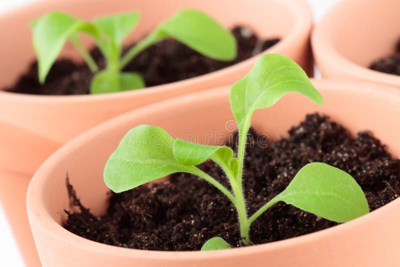 Petuniaplantor i keramiska krukar royaltyfri fotografi