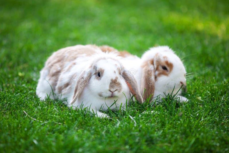 Två klaff-gå i ax husdjurkaniner på grönt gräs royaltyfri bild