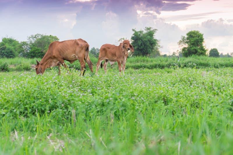 Två kor, behandla som ett barn och att äta gräs i fälten arkivfoto