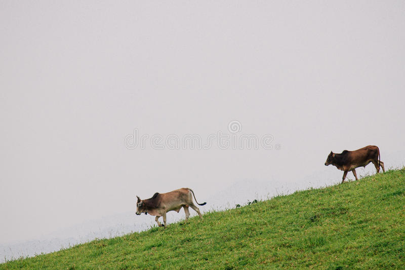 Två kor på moutain royaltyfria foton