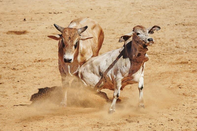 Två kor som slåss i Queensland, Australien arkivbilder