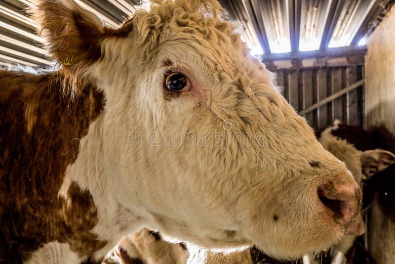 Två kor som står i stallet fotografering för bildbyråer