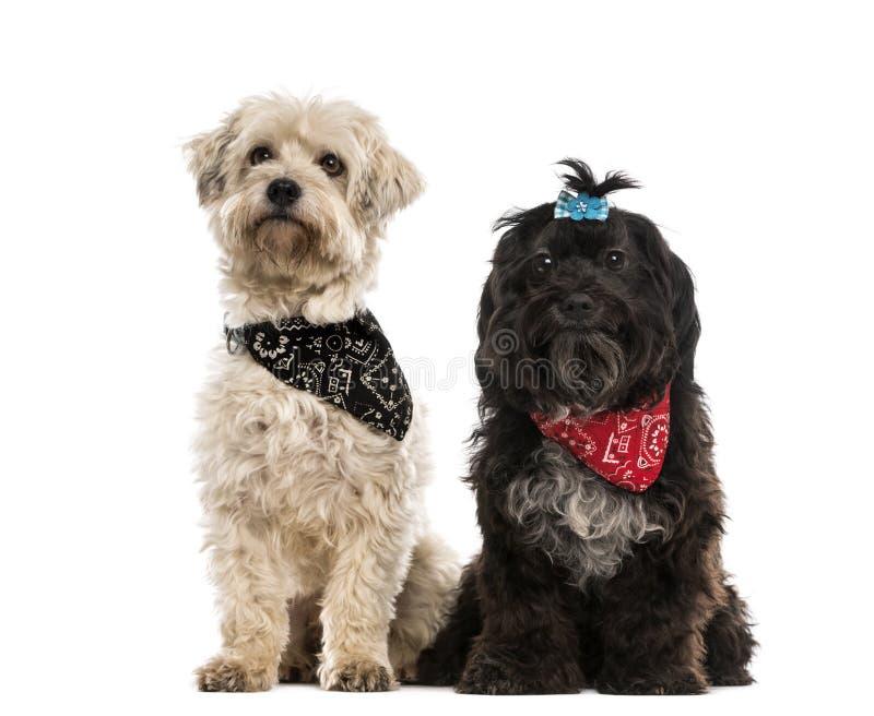 Två korsninghundkapplöpning som bär en halsduk arkivfoton