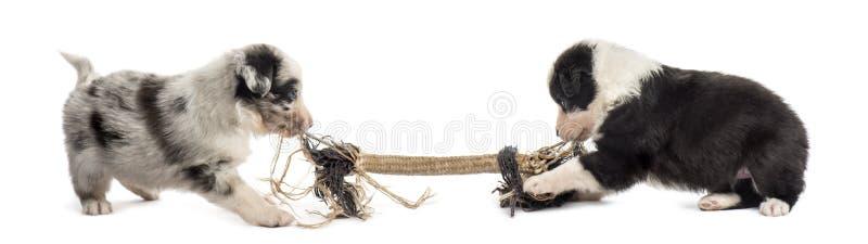 Två korsningvalpar som spelar med ett rep fotografering för bildbyråer