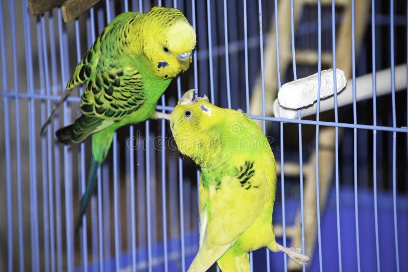 två krabba papegojor sitter på en bur royaltyfria bilder