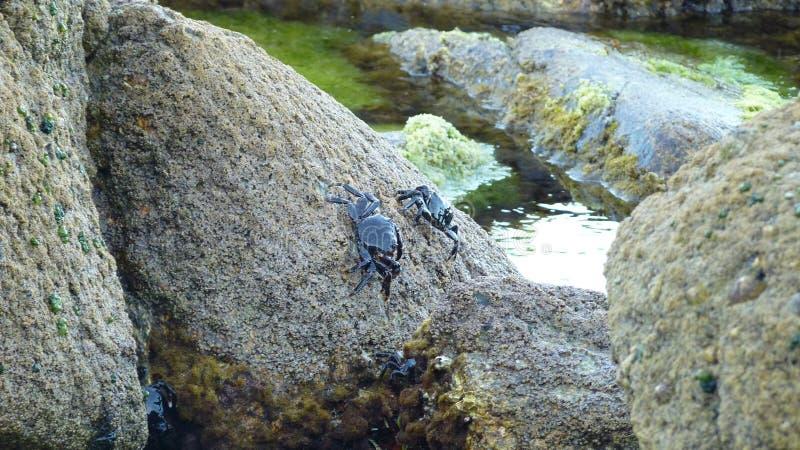 två krabbor på stenen arkivfoto