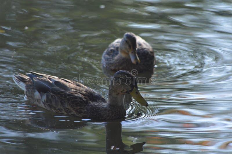 Två kvinnliga gräsand som simmar i en sjö, änder i vatten i höst royaltyfri foto