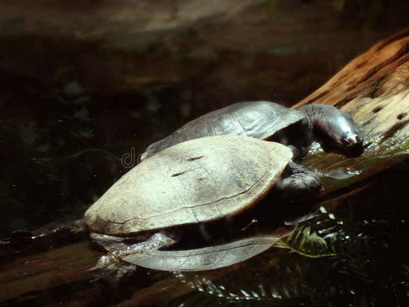 Två långa hånglade sköldpaddor som vilar på en journal arkivbild