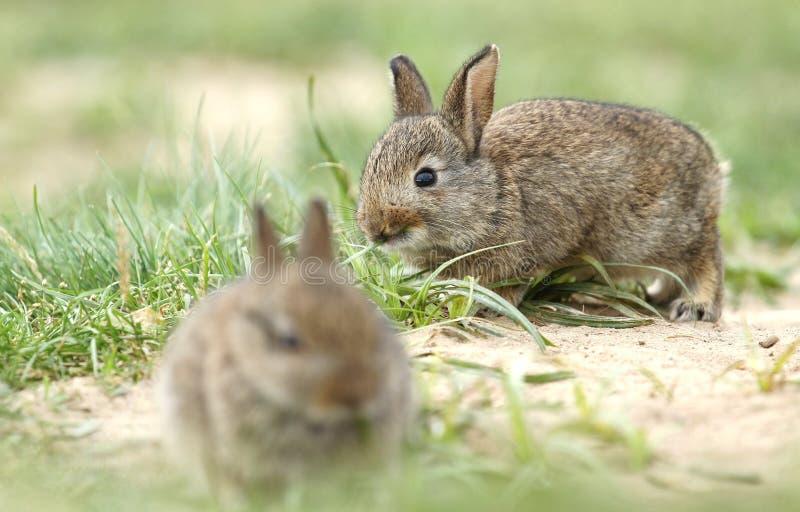 Två lösa kaniner arkivfoton