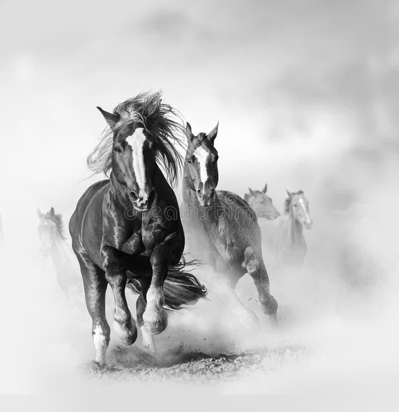 Två lösa kastanjebruna hästar som tillsammans kör royaltyfria foton