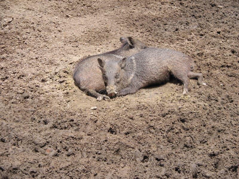 Två lösa svin som vilar i gyttjan royaltyfri bild