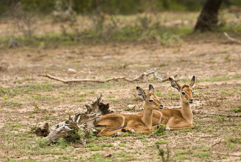 Två lösa unga impalor i busken, Kruger nationalpark, Sydafrika arkivfoton