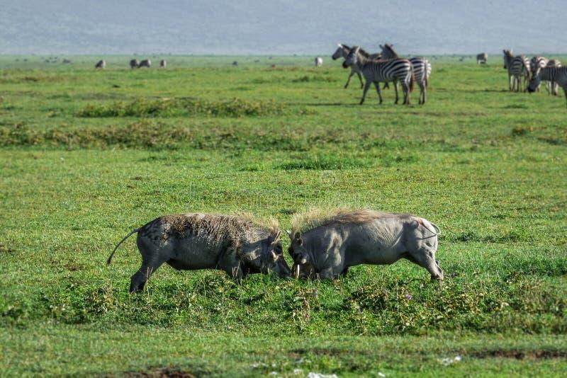 Två lösa vårtsvin som slåss i gräset arkivfoton