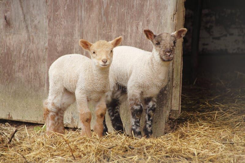 Två Lambs royaltyfria bilder
