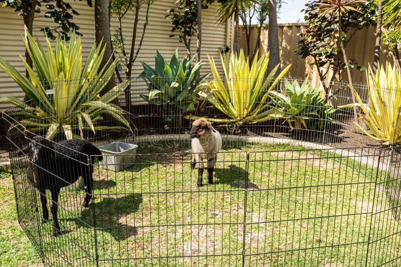 Två lamm i penna i surburban trädgård fotografering för bildbyråer