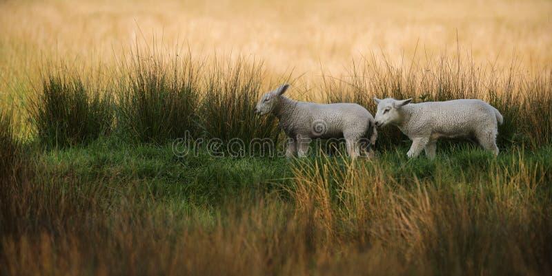 Två lamm som går i högväxt gräs arkivfoto