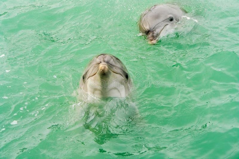 Två le delfin arkivbilder