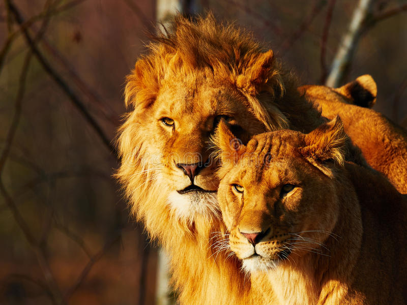 Två lejon i en skog fotografering för bildbyråer