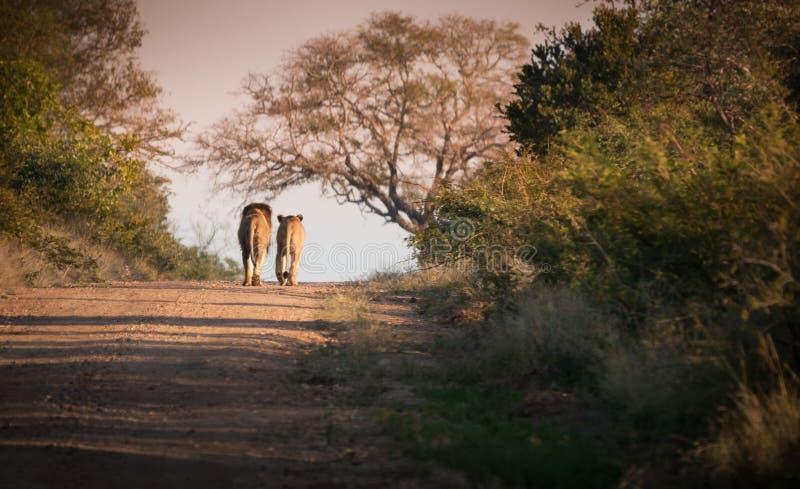 Två lejon på banan på den Kruger nationalparken, Sydafrika royaltyfria foton