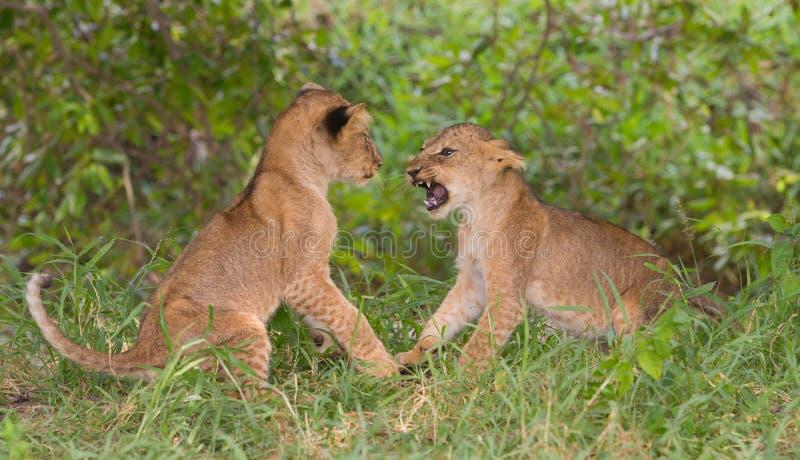 Två lejongröngölingar & x28; Pantheraleo& x29; spela royaltyfria bilder