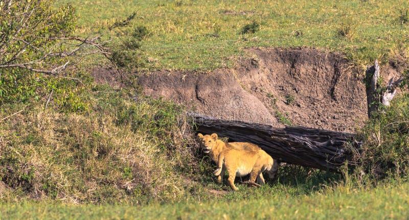 Två lejongröngölingar söker efter en håla Kenya Afrika royaltyfri bild
