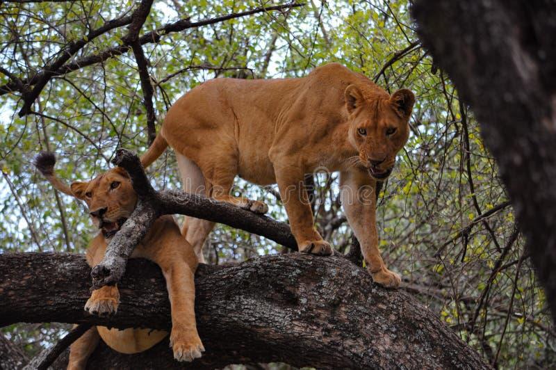 Två lejoninnor i ett träd arkivbild