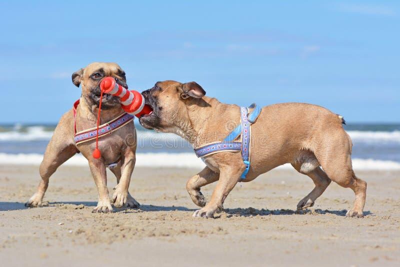 Två liknande seende bruna hundkapplöpning för fransk bulldogg som spelar bogserbåten samman med enformad hundleksak på sommarseme fotografering för bildbyråer