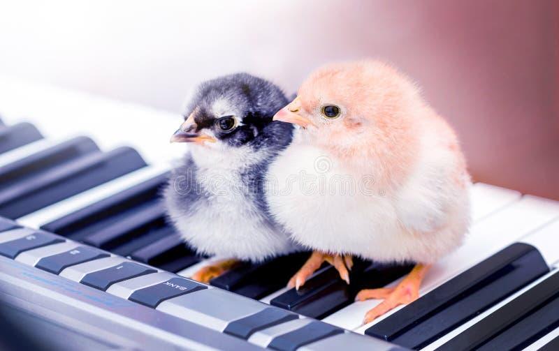 Två lilla fågelungar på pianotangenterna Utföra en musikalisk lek med en duet_ arkivbilder