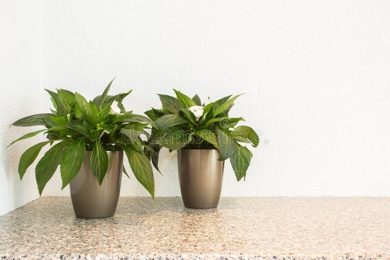 Två lilla gröna växter i blomkrukor för inregarnering med kopieringsutrymme- och vitbakgrund royaltyfri foto
