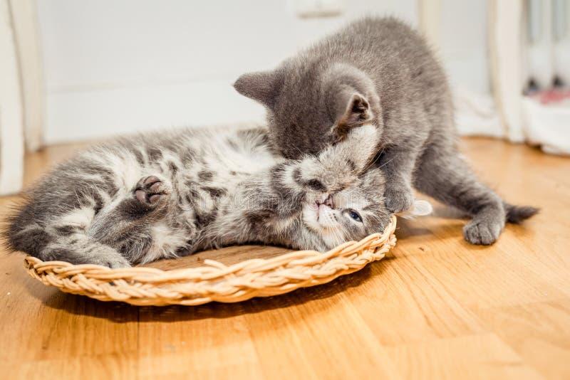 Två lilla gulliga gråa kattungar som spelar på golvet royaltyfri foto