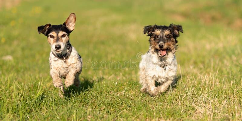 Två lilla Jack Russell Terrier hundkapplöpning stöter ihop med en grön äng och har mycket gyckel royaltyfri bild